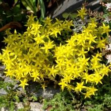 Очиток Желтый - Семена Тут