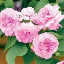 Бальзамин Искушение светло-розовое F1 (Уоллера) - Семена Тут
