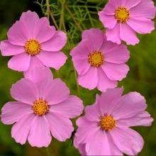 Космея Розовая сенсация - Семена Тут