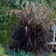 Просо фиолетовое (Panicum violaceum) - Семена Тут