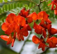 Сесбания крупноцветковая Меконг - Семена Тут