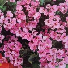 Арабис Розовый альпийский - Семена Тут