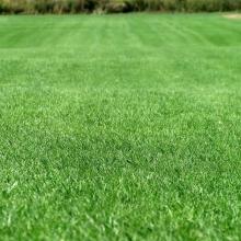 Газонная трава Спортивная площадка (спортивный газон) (100гр) - Семена Тут