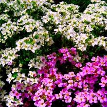 Арабис альпийский Смесь окрасок - Семена Тут