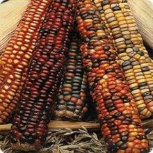 Кукуруза Декоративная Амеро - Семена Тут