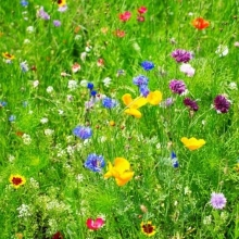 Газонная трава Цветущий луг (100гр) - Семена Тут