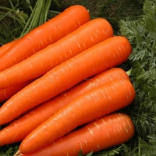 Морковь Дордонь F1 - Семена Тут