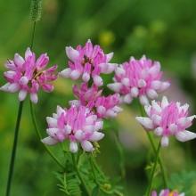 Вязель разноцветный Розовый бриз - Семена Тут