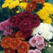 Хризантема крупноцветковая Смесь окрасок - Семена Тут
