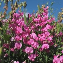 Горошек многолетний Розовый - Семена Тут