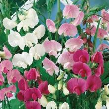 Горошек многолетний Разноцветье, смесь - Семена Тут