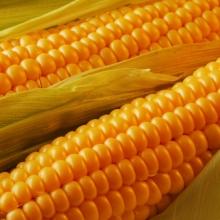 Кукуруза Бондюэль - Семена Тут