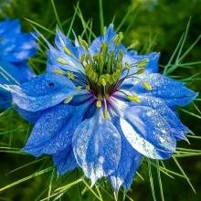 Нигелла Голубая, дамасская - Семена Тут