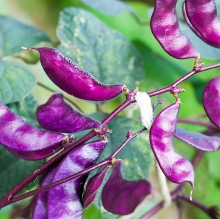 Бобы гиацинтовые Фиолетовые гирлянды - Семена Тут