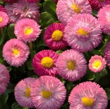 Маргаритка Весна розовая ранняя