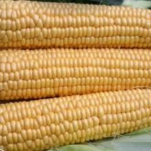 Кукуруза Детская - Семена Тут