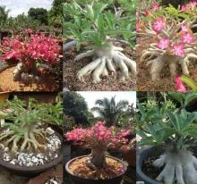 Адениум (Arabicum) Роза Пустыни микс - Семена Тут