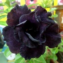 Адениум (Obesum) Черное Болото - Семена Тут