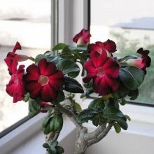 Адениум Пестролистный Мунгсагда (Desert Rose) - Семена Тут