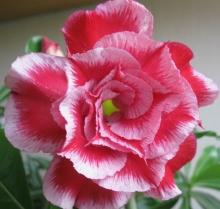 Адениум (Obesum) Розовая Мечта - Семена Тут