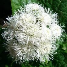 Агератум Белый шар - Семена Тут