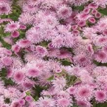 Агератум Мексиканский розовый - Семена Тут