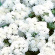 Агератум Мексиканский белый - Семена Тут