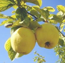 Айва продолговатая Райское дерево - Семена Тут