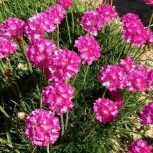 Армерия Блестящая роза приморская - Семена Тут