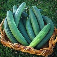 Армянский огурец Богатырь зелёный - Семена Тут