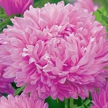 Астра Королевский размер Розовая - Семена Тут