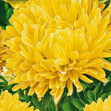 Астра Королевский размер Желтая - Семена Тут