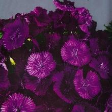 Гвоздика (бородатая) Турецкая Фиолетовая гора - Семена Тут