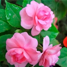 Бальзамин Том Самб розовый - Семена Тут