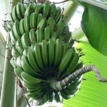 Банан Пигмей декоративный - Семена Тут