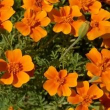 Бархатцы Карина оранжевая - Семена Тут