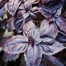 Базилик овощной Пурпурные звезды - Семена Тут