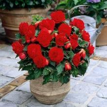 Бегония Камелия Темно-красная - Семена Тут