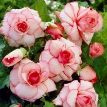Бегония клубневая Шанель Бело-розовая - Семена Тут