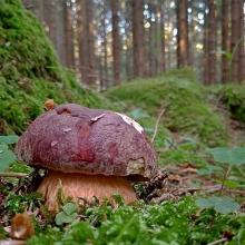 Белый гриб Сосновый на зерновом субстрате (мицелий) 15 мл - Семена Тут