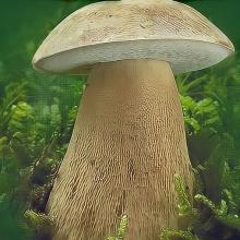 Белый гриб Дубовый на зерновом субстрате (мицелий) 15 мл - Семена Тут
