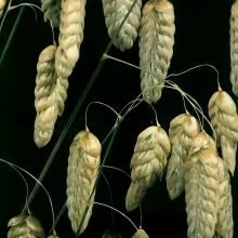 Бриза большая Амазонка (трясунка) - Семена Тут