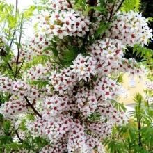 Чекалкин орех Щелкунчик рябинолистный  (большой пакет) - Семена Тут
