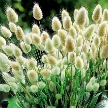 Декоративные злаки Зайцехвост - Семена Тут