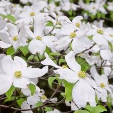 Дерен Флорида белая (цветущий) - Семена Тут