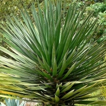 Драцена Драконово дерево - Семена Тут