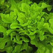 Салат Дубрава листовой - Семена Тут