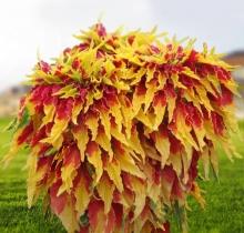 Амарант Пуансеттия трехцветный - Семена Тут