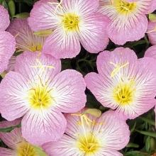 Энотера красивая Розовая мечта - Семена Тут