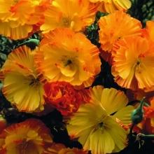 Эшшольция Априкот, калифорнийская
